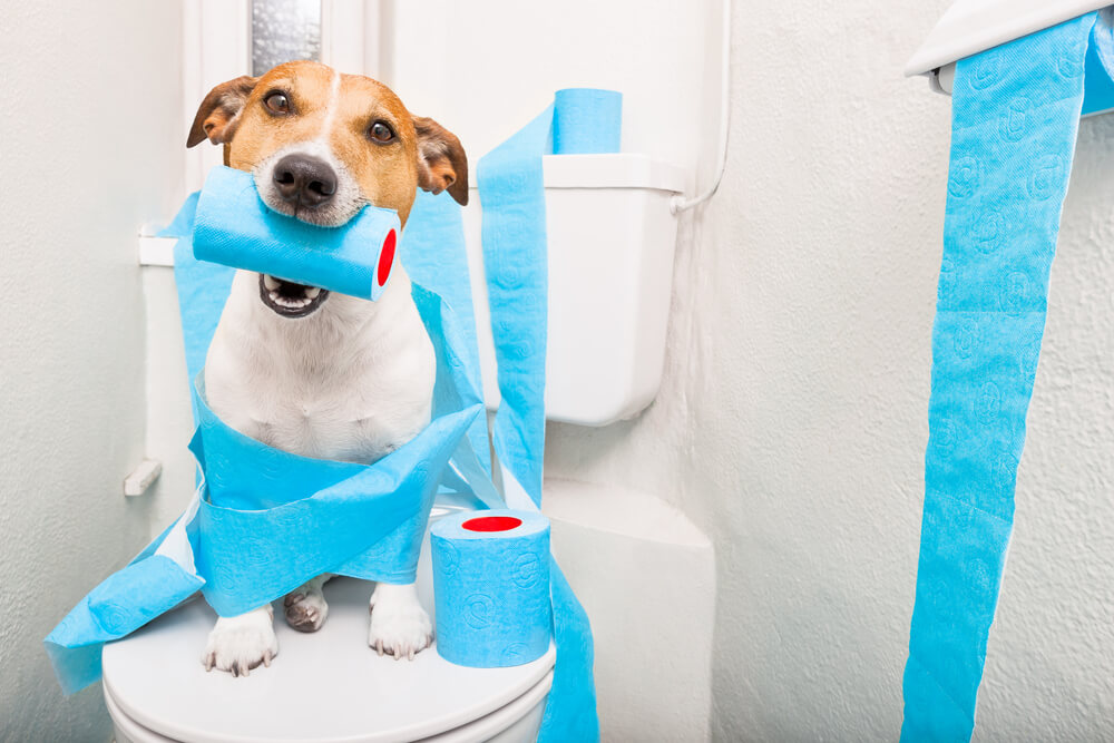 Jack russell terrier, sitting on a toilet seat