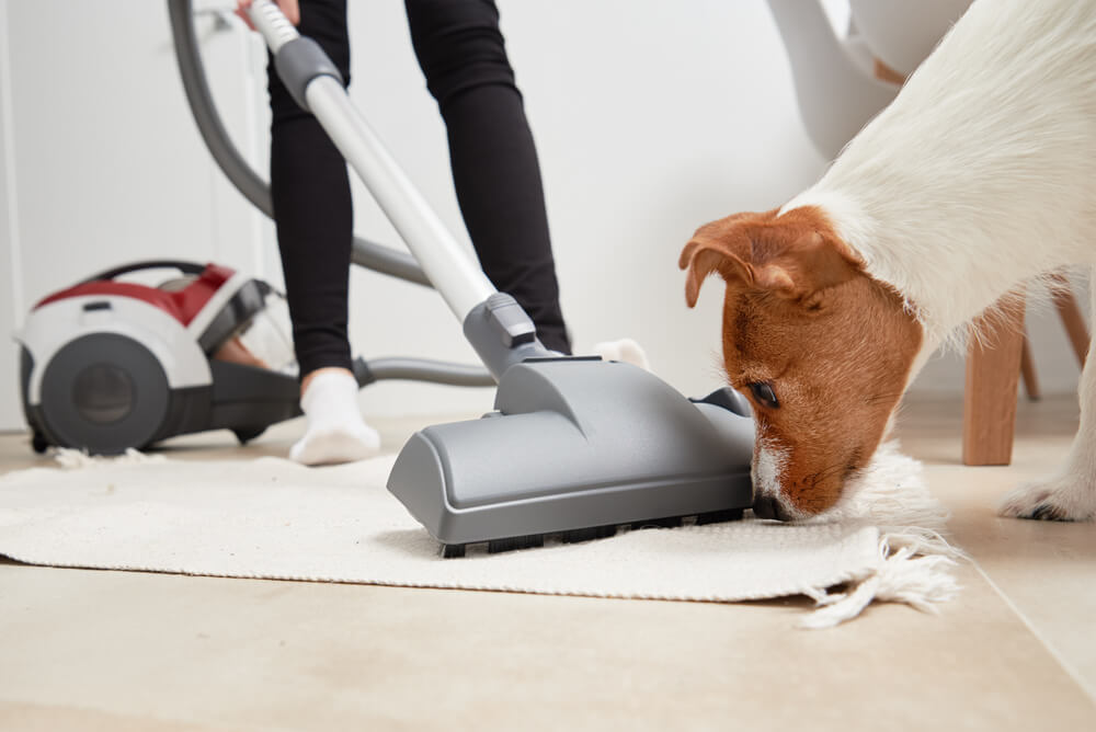 dog looks at the vacuum cleaner